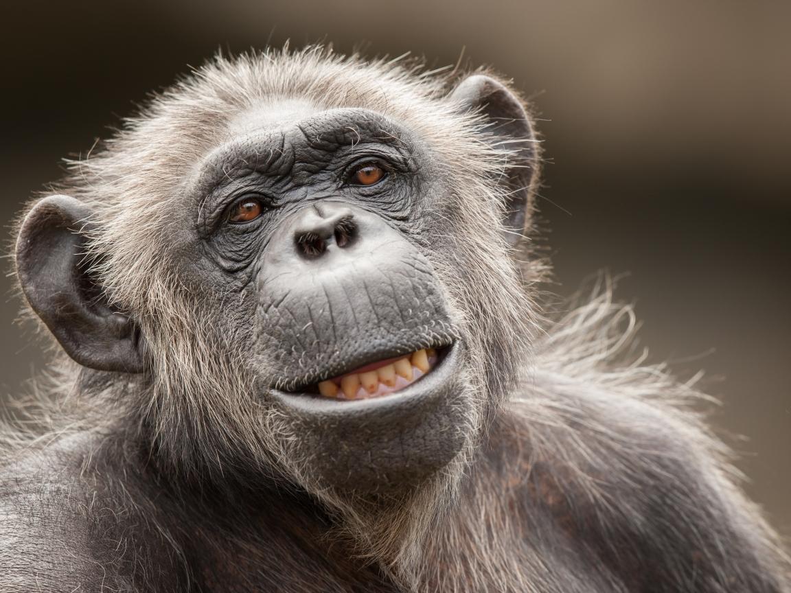 La cara de un chimpancé - 1152x864