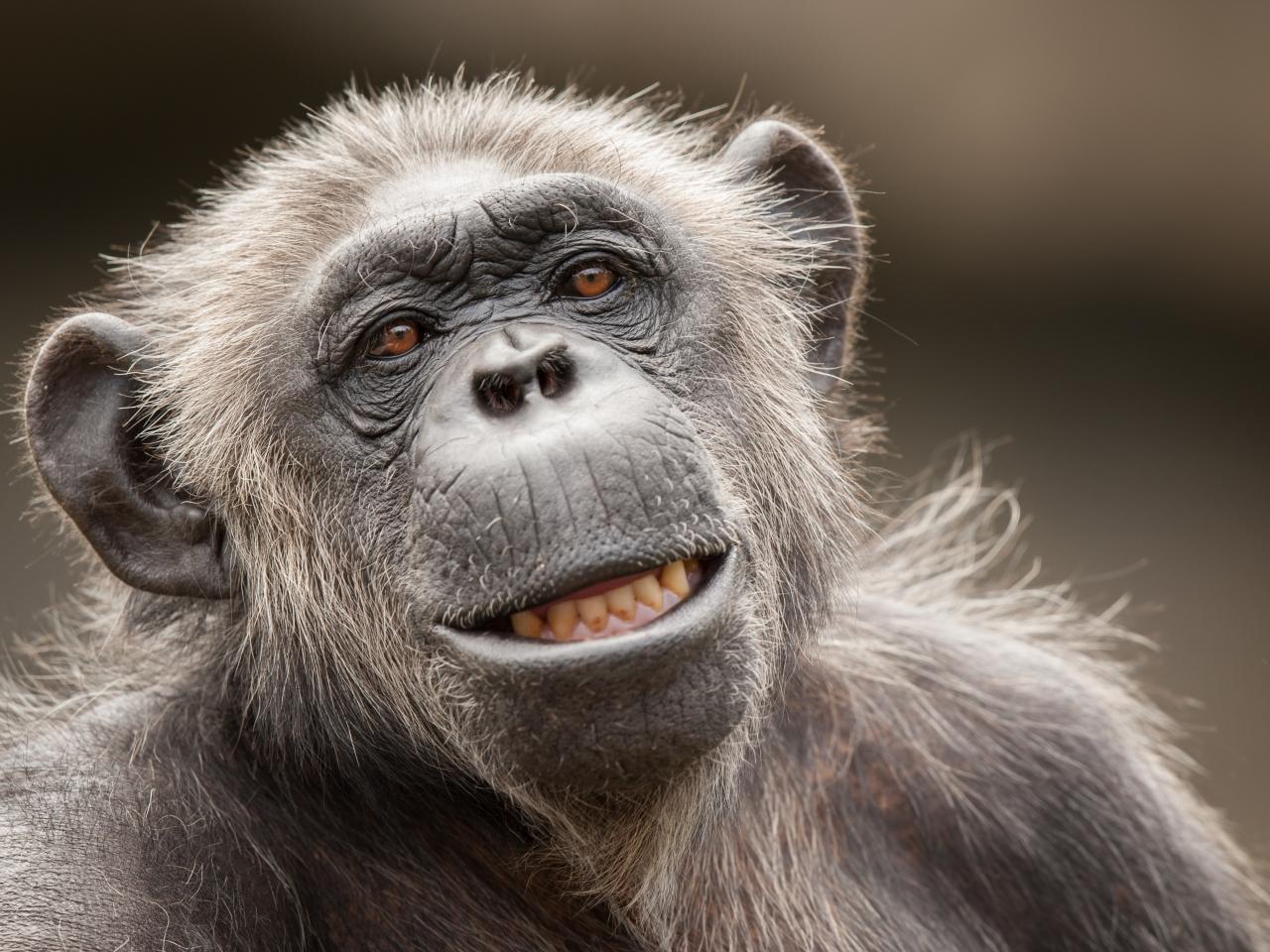 La cara de un chimpancé - 1280x960