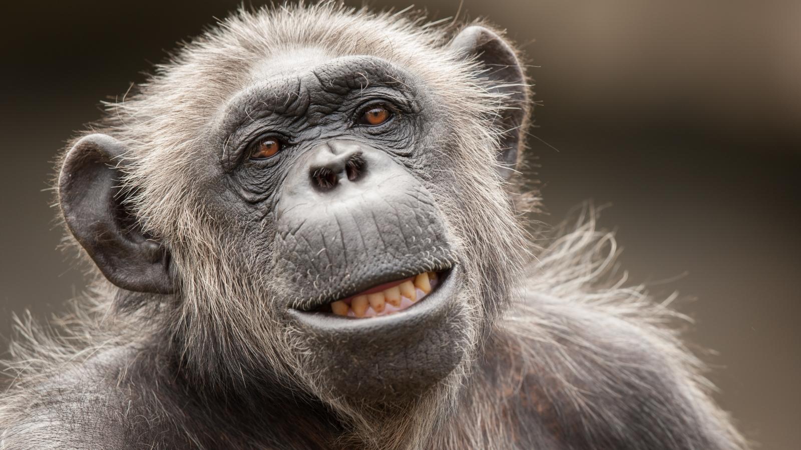 La cara de un chimpancé - 1600x900