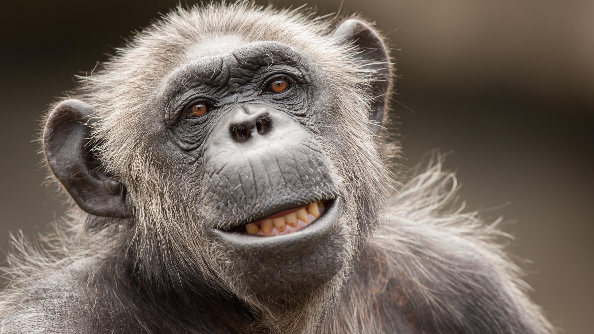 La cara de un chimpancé - 1920x1080