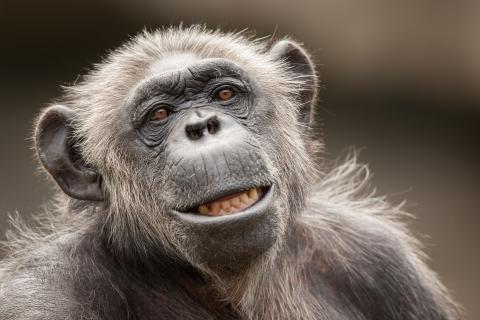 La cara de un chimpancé - 480x320