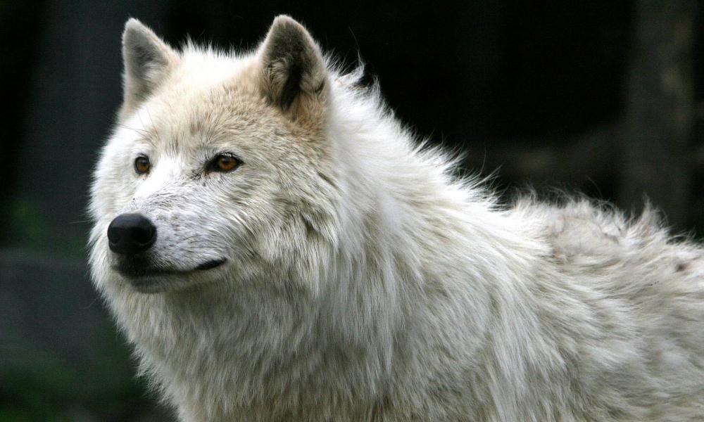 Lobo blanco - 1000x600