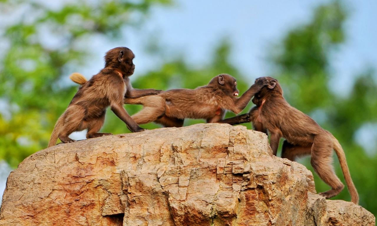 Monos peleando - 1280x768