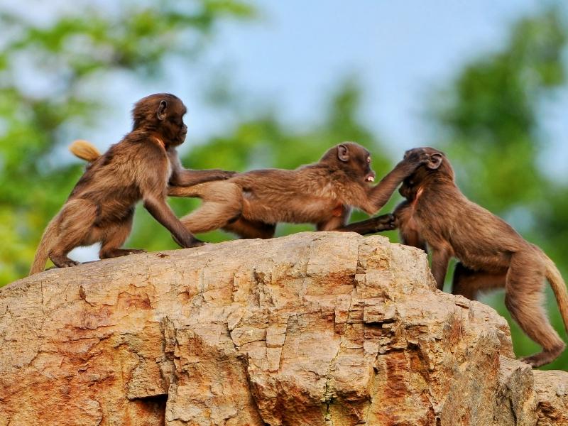 Monos peleando - 800x600