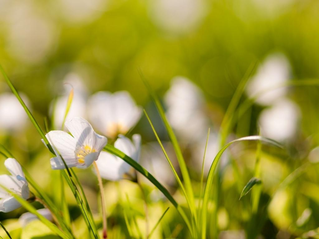 Pequenas flores blancas - 1024x768