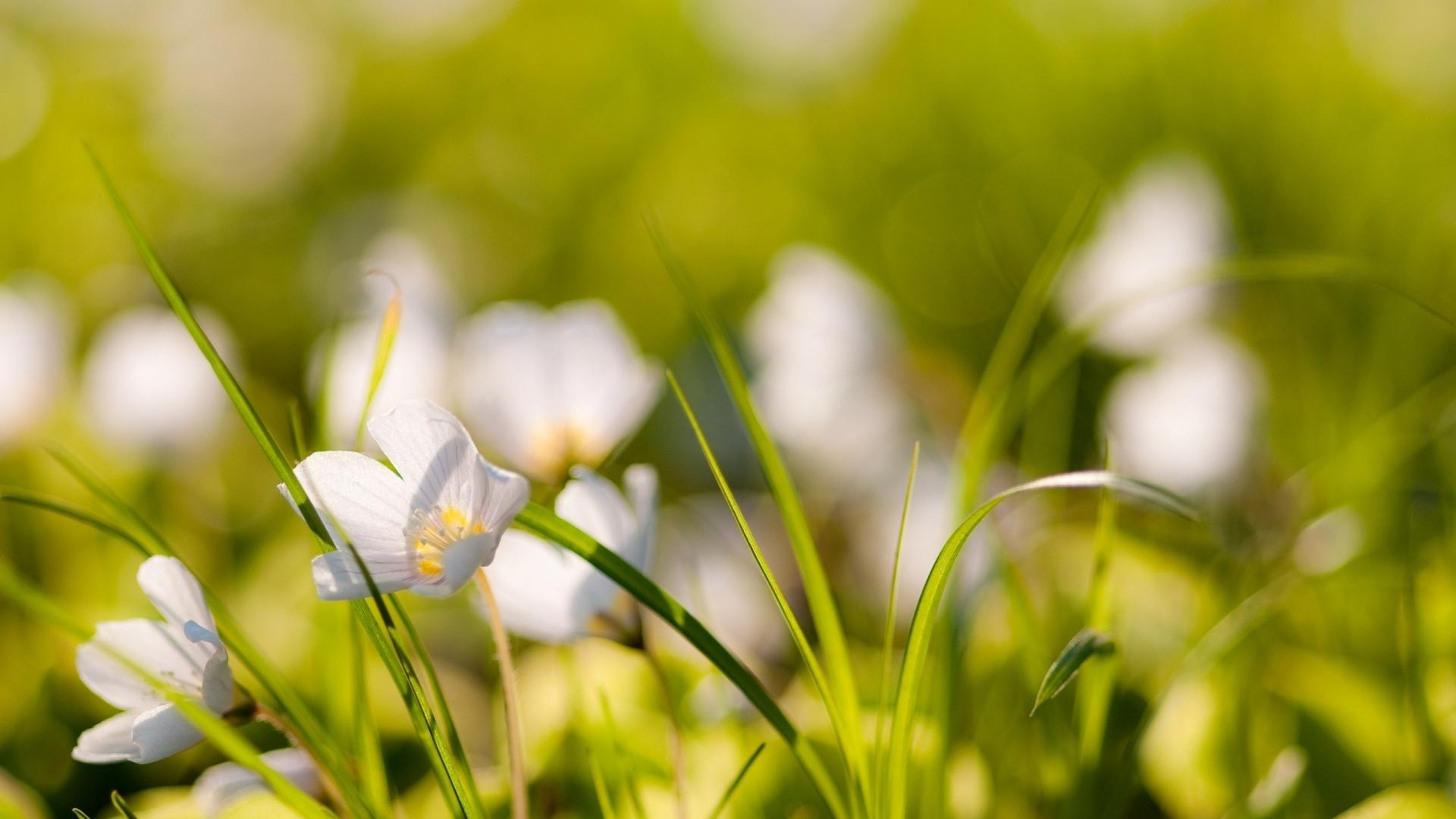 Pequenas flores blancas - 1920x1080