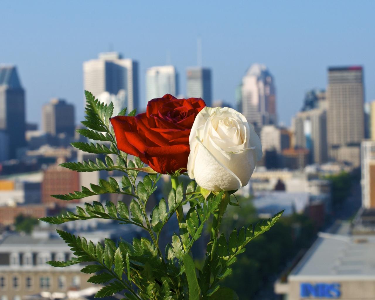 Rosas blanca y roja - 1280x1024
