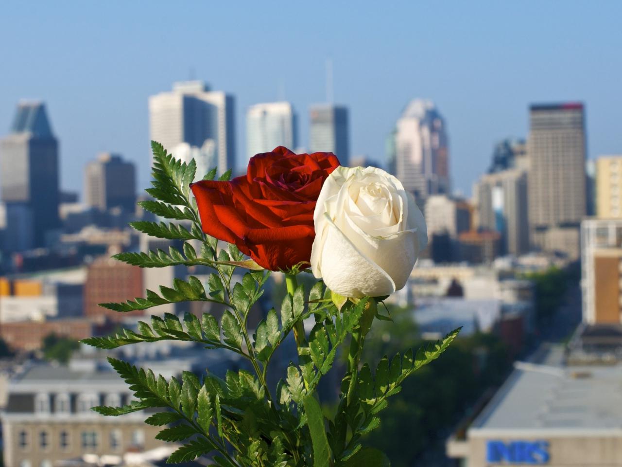 Rosas blanca y roja - 1280x960