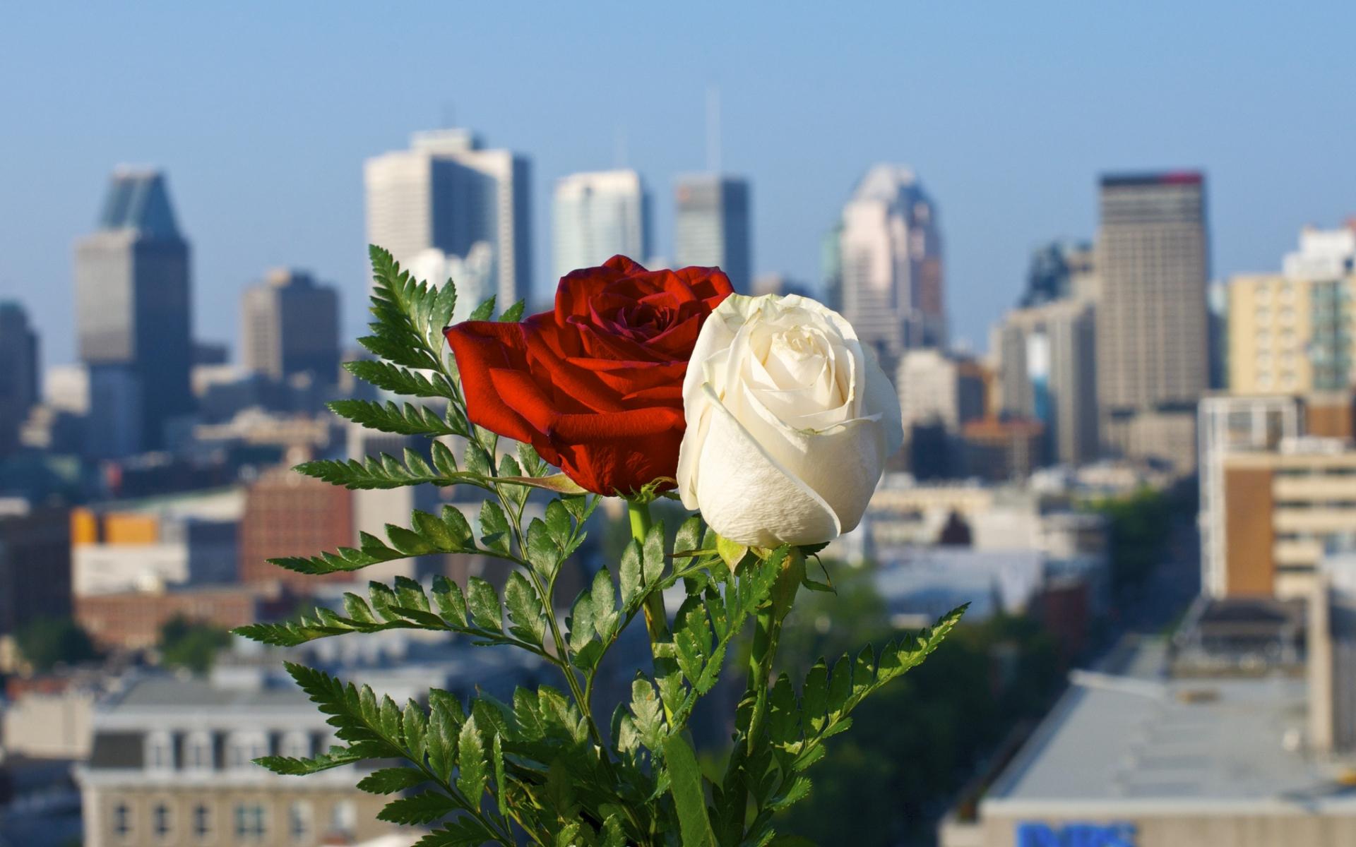 Rosas blanca y roja - 1920x1200