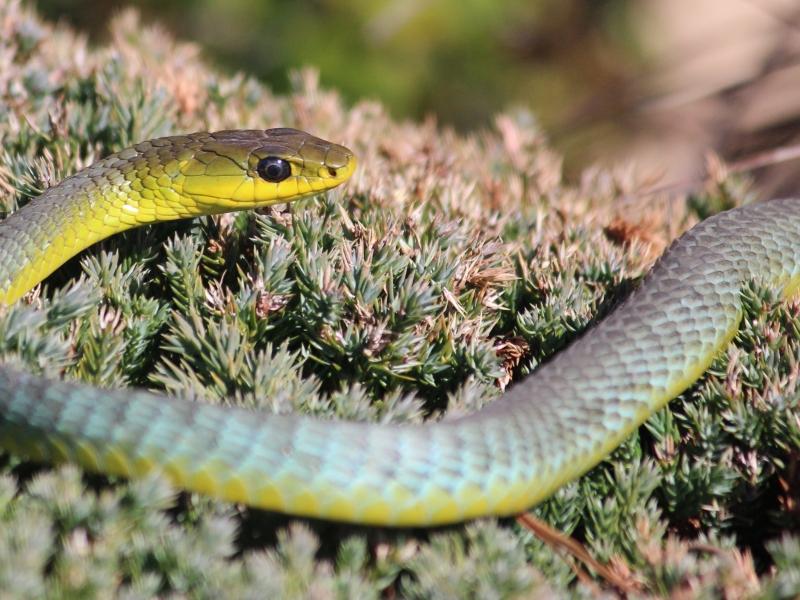 Serpiente verde de arboles - 800x600