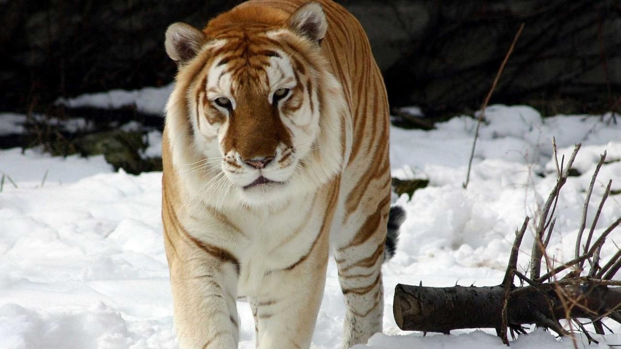 Tigre dorado - 1280x720