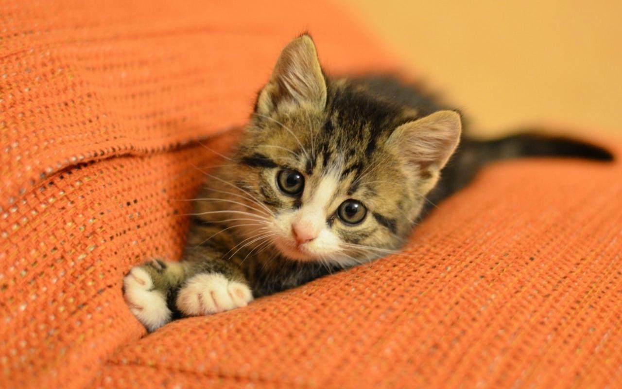 Un bello gato - 1280x800