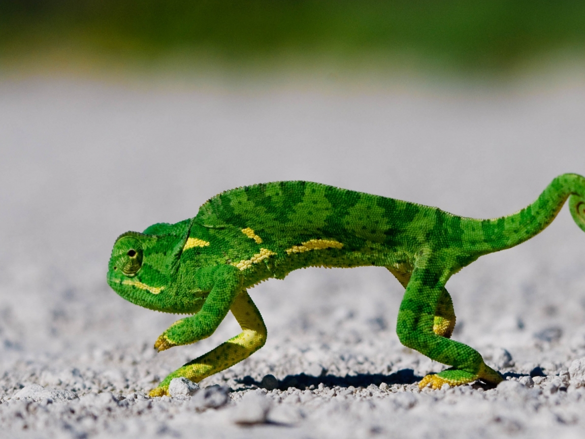 Un camaleón corriendo - 1152x864