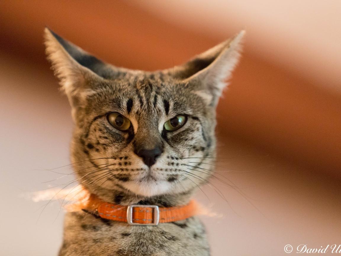 Un gato gris - 1152x864