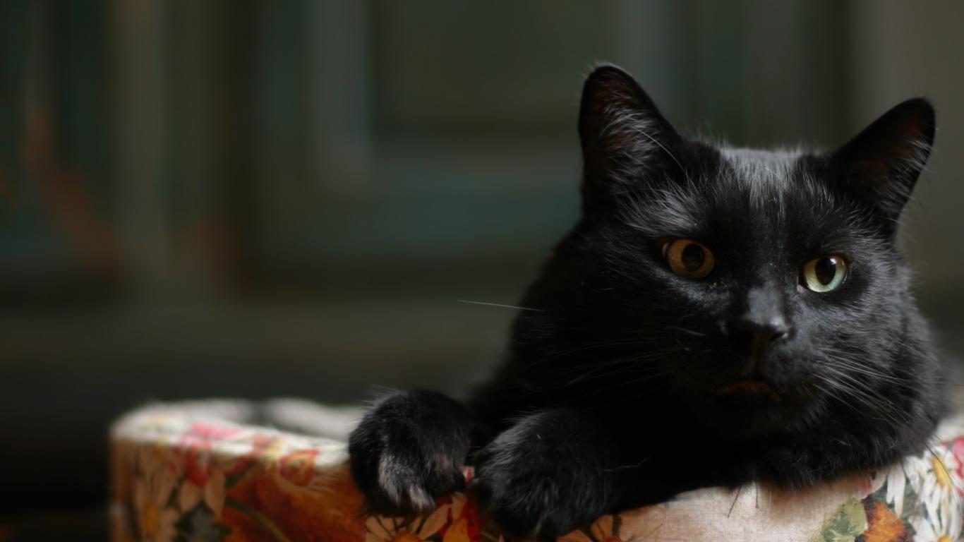 Un pequeno gato acostado - 1366x768