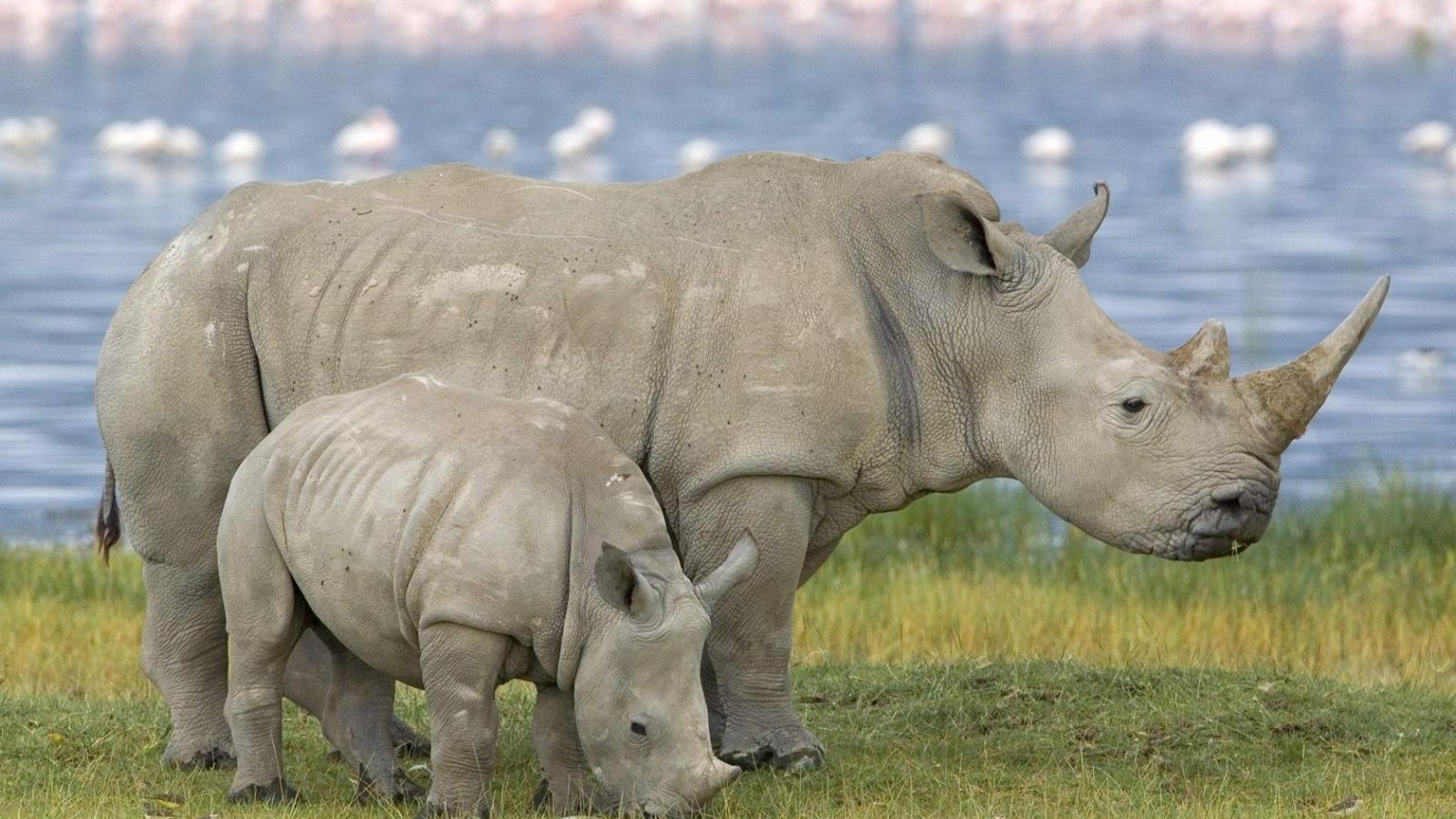Una familia de rinocerontes - 1600x900