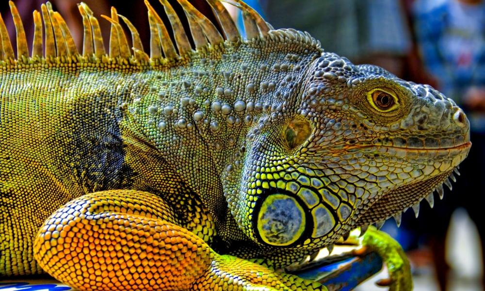 Una gran iguana verde - 1000x600