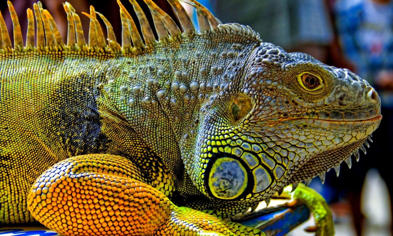 Una gran iguana verde - 1280x768