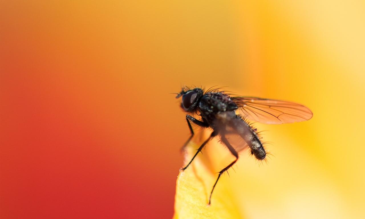 Una mosca - 1280x768