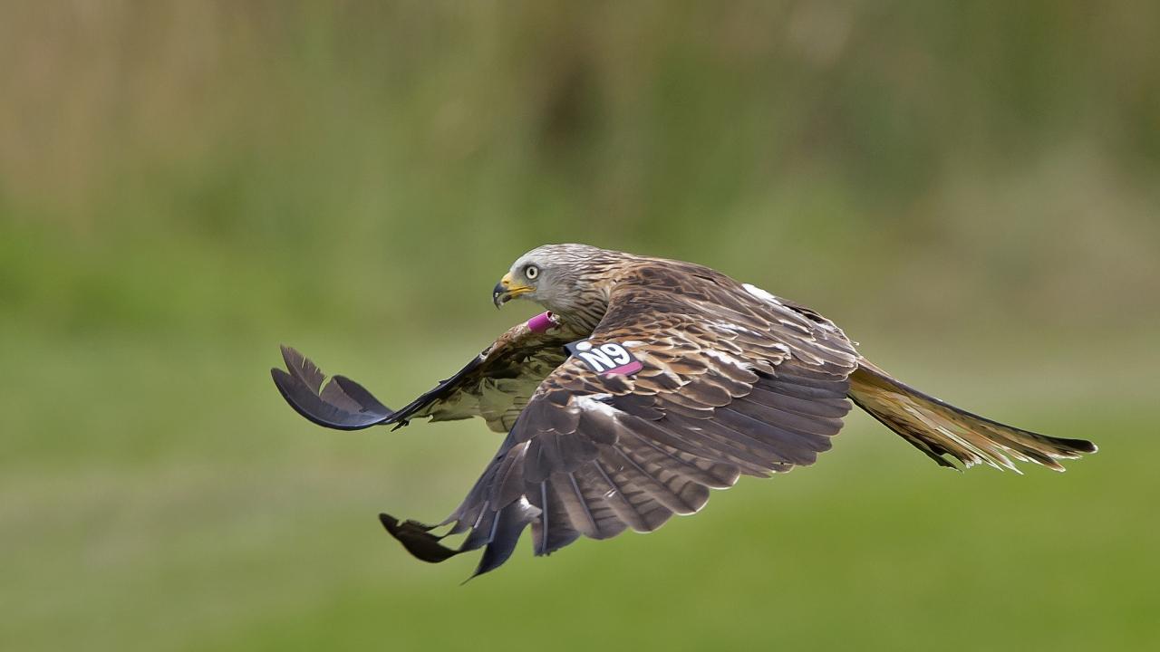 Vuelo de un Aguila - 1280x720
