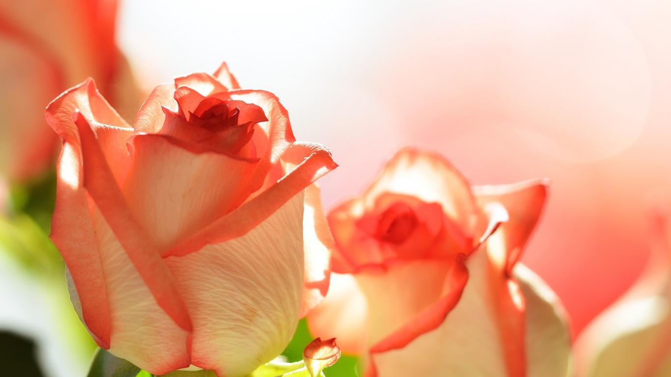 Flores para San Valentín - 1366x768