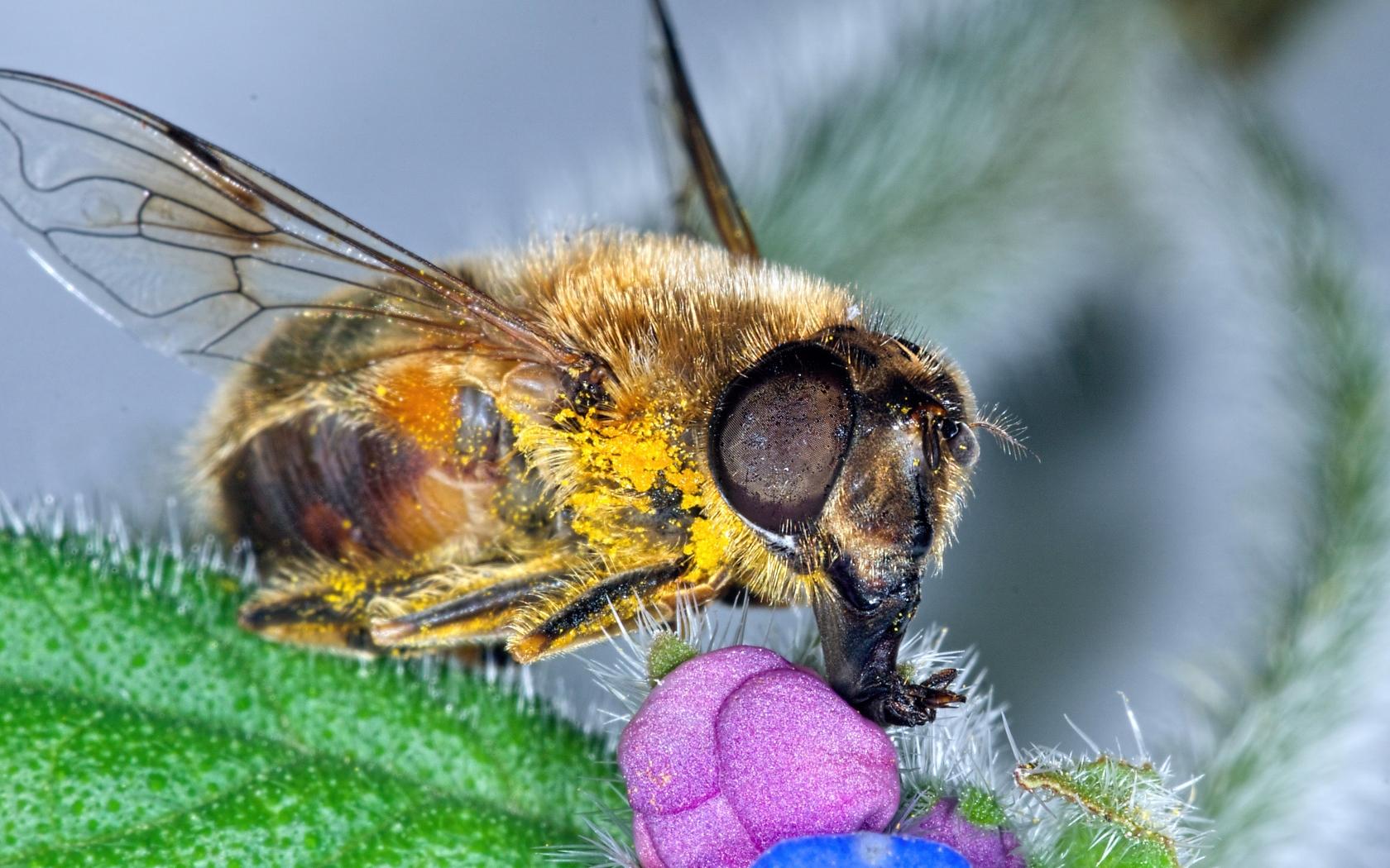 Fotos macro de abejas - 1680x1050