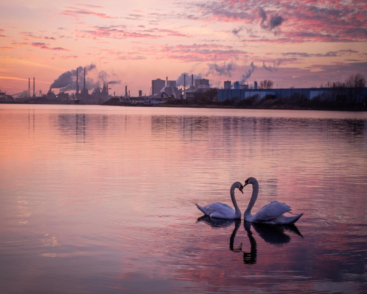 Pareja de Cisnes en forma de corazón - 1280x1024