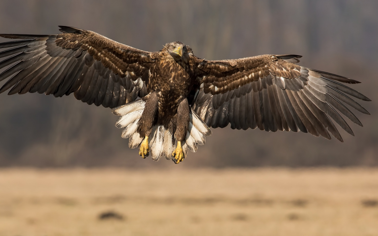 Un águila con las alas extendidas - 1280x800