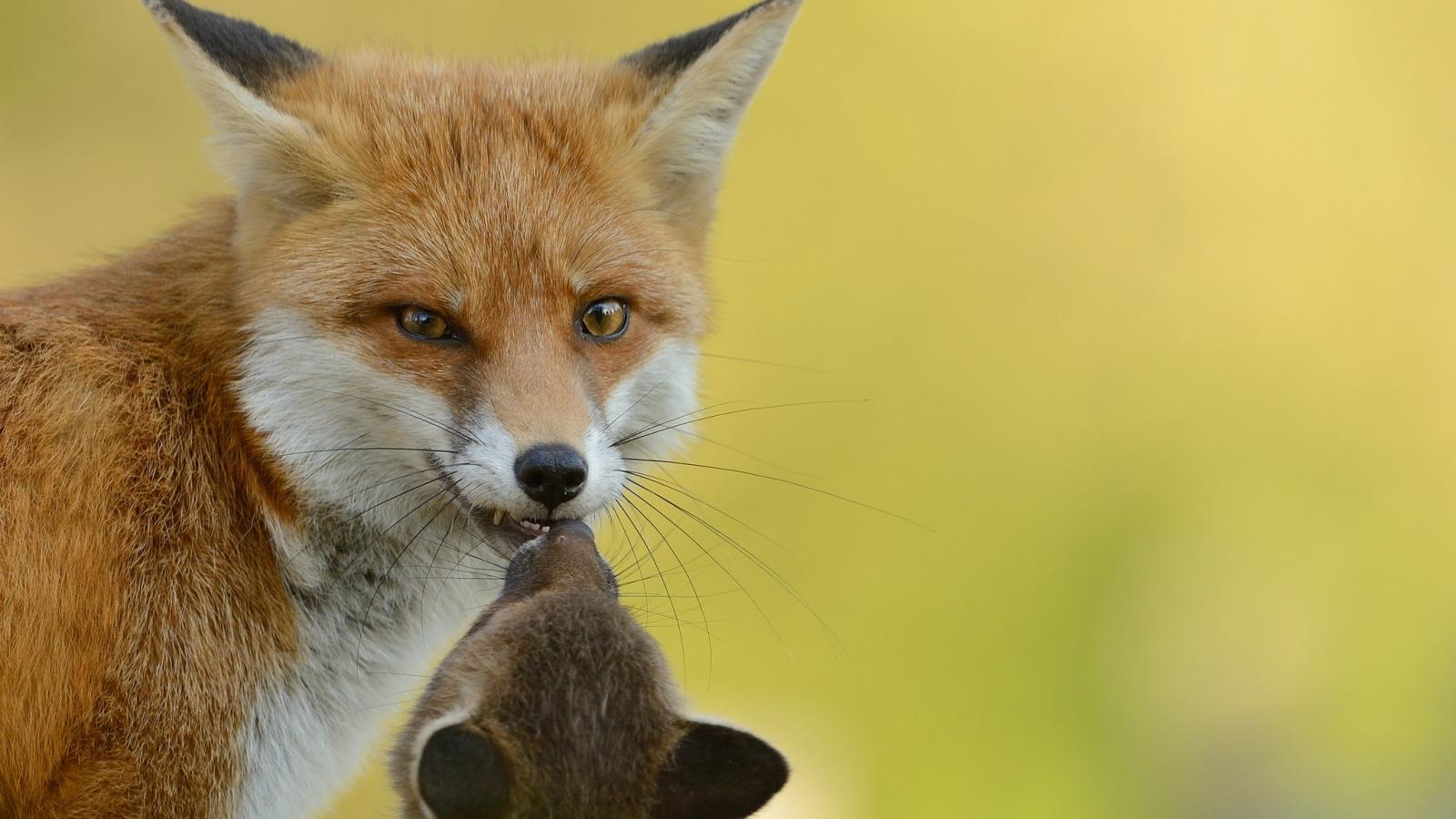 Un zorro rojo con su cría - 1600x900