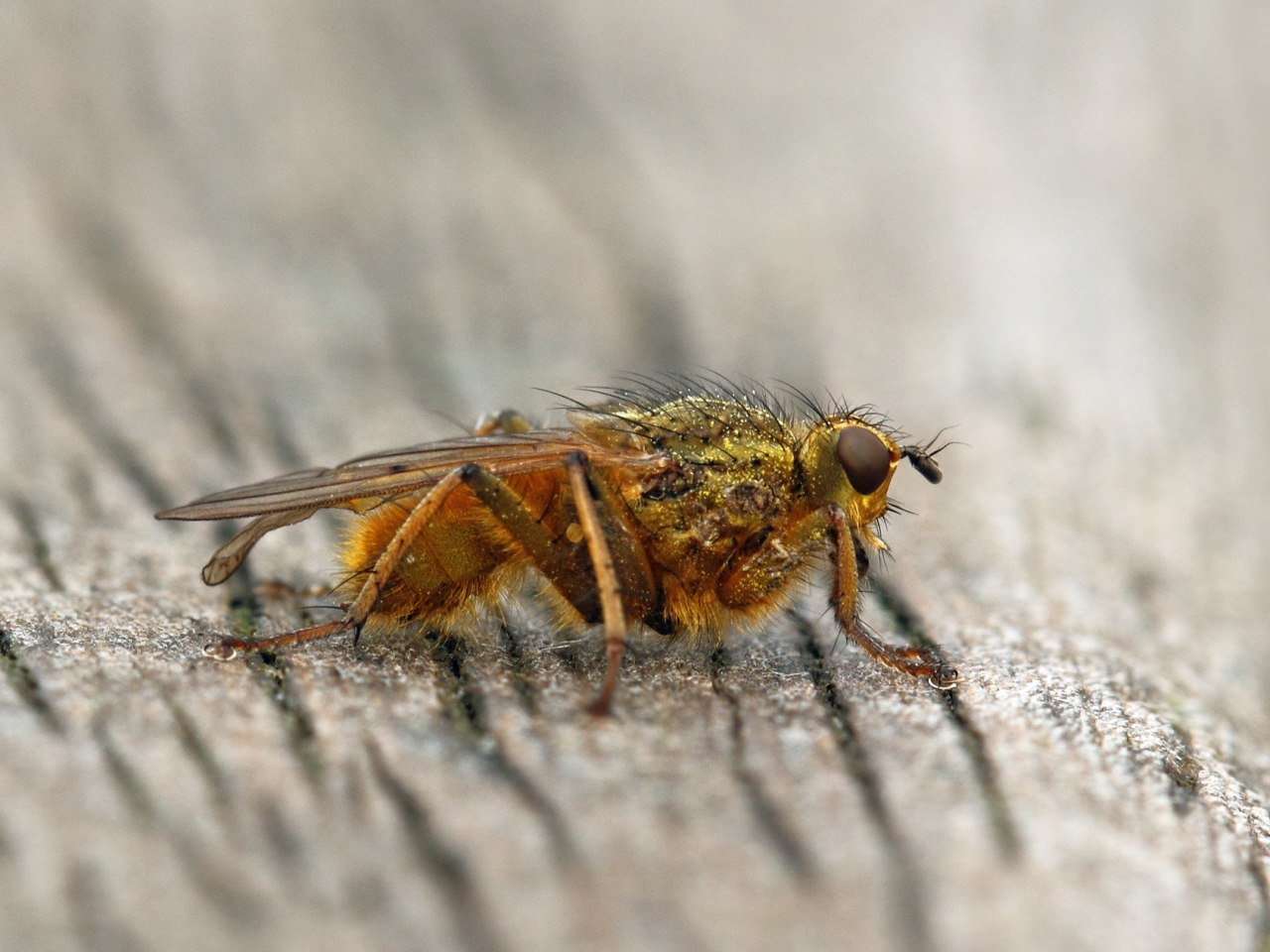 Una mosca en macro - 1280x960
