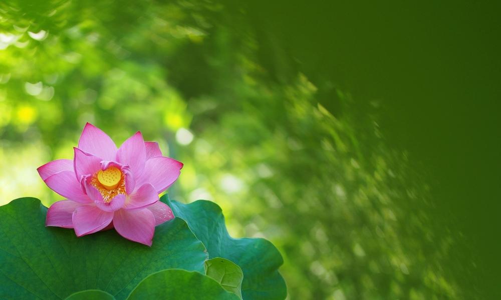 Bellas flores rosadas - 1000x600