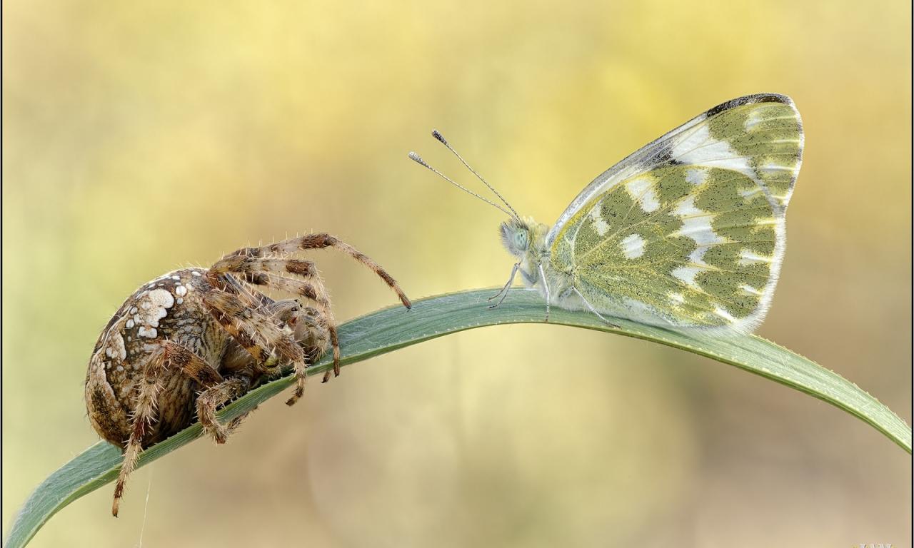 Araña vs Mariposa - 1280x768