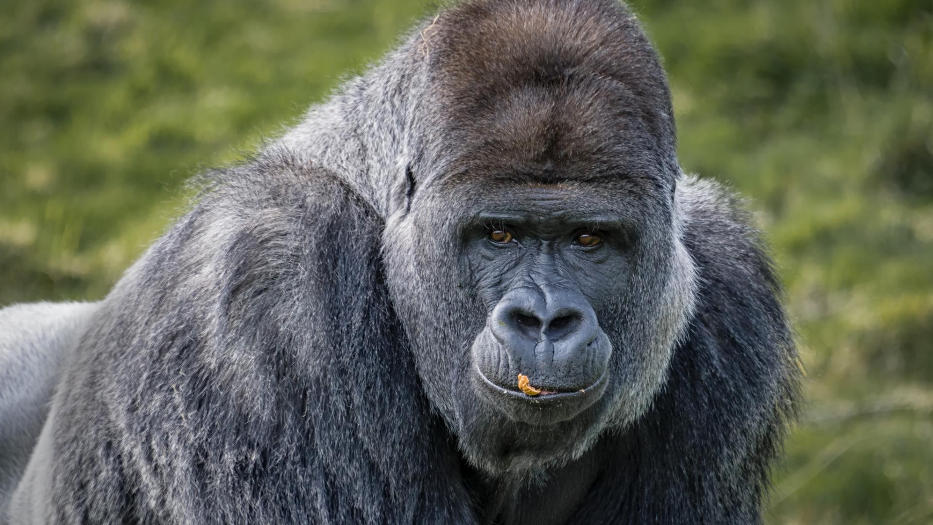 Gorilas negros - 1920x1080