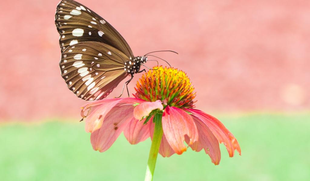 Mariposa en una flor rosada - 1024x600