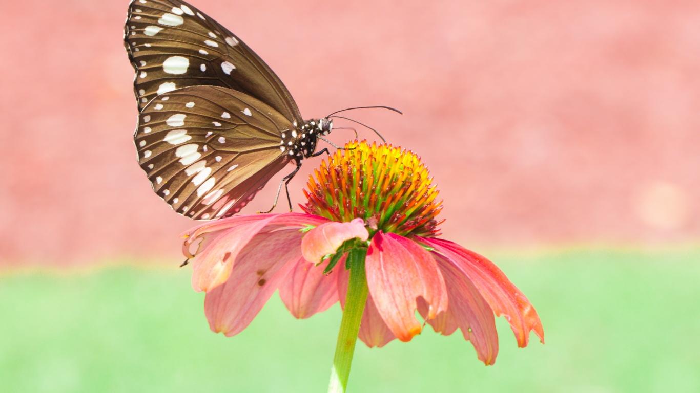 Mariposa en una flor rosada - 1366x768