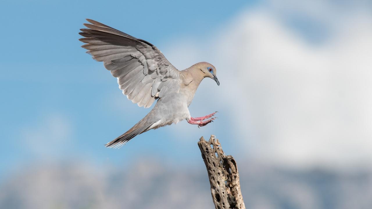 Paloma aterrizando en un palo - 1280x720