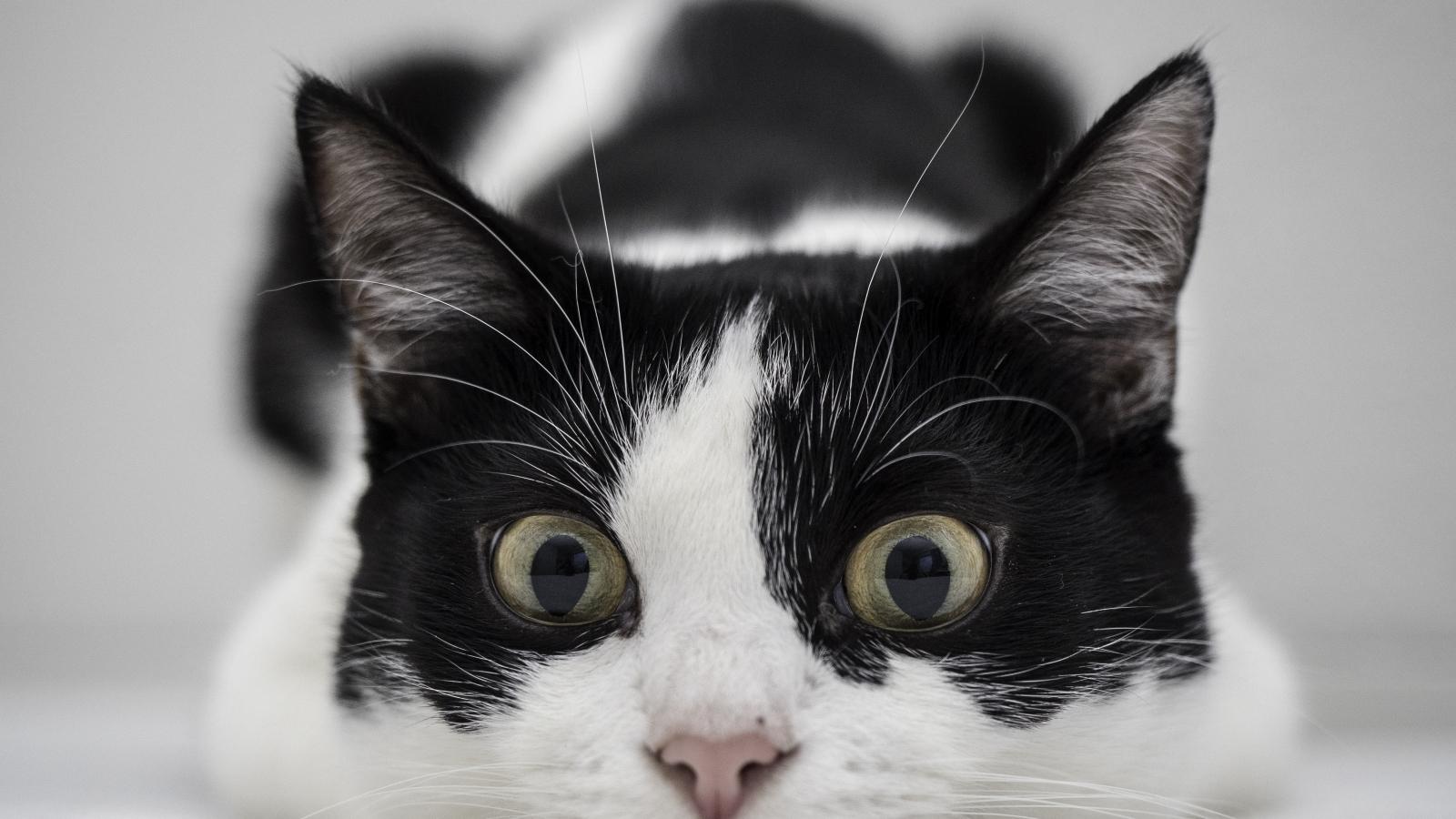 Un gato blanco y negro - 1600x900