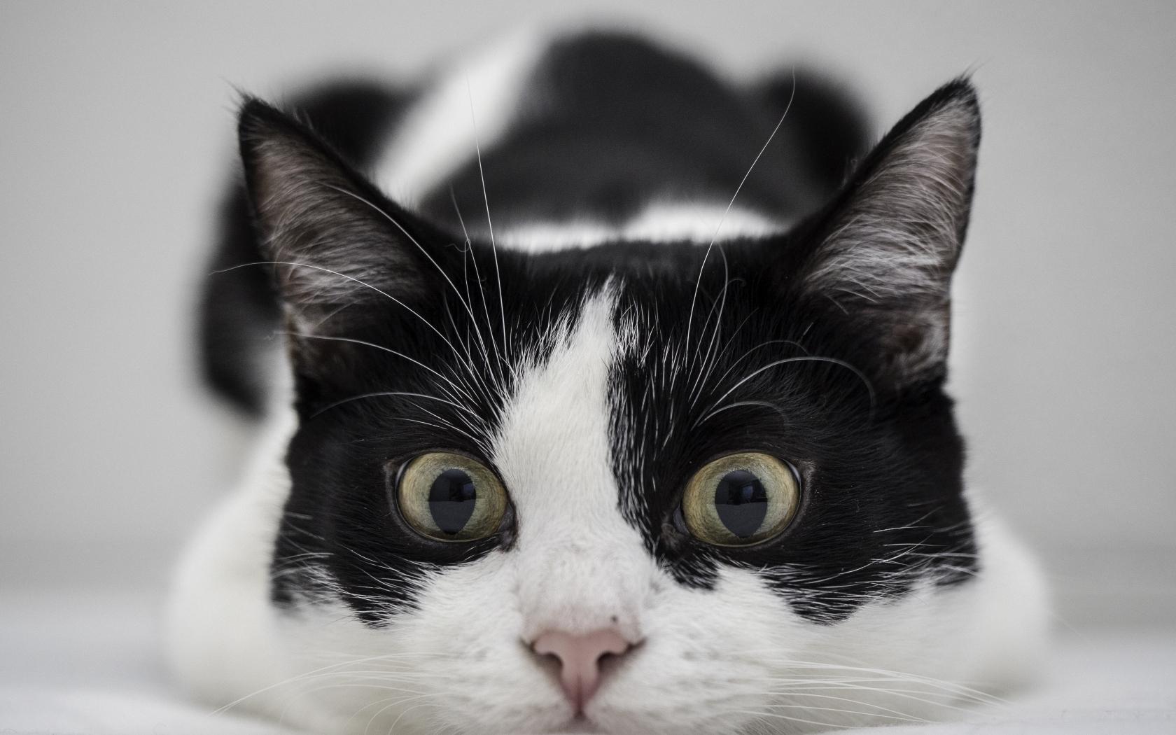 Un gato blanco y negro - 1680x1050