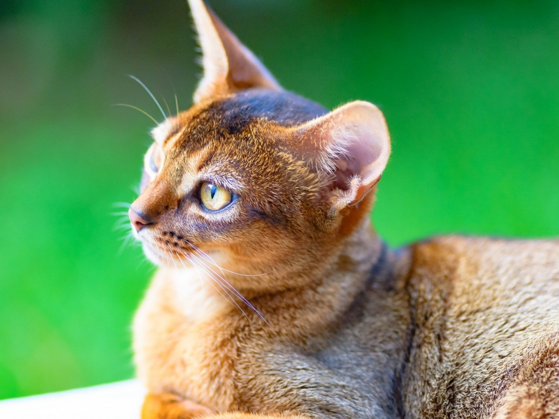 Un gato puma - 800x600