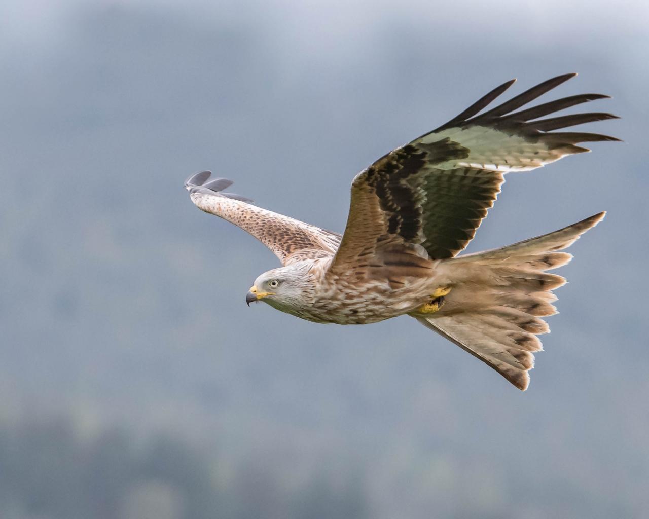 Aguila volando - 1280x1024
