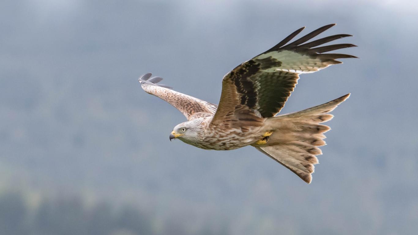 Aguila volando - 1366x768