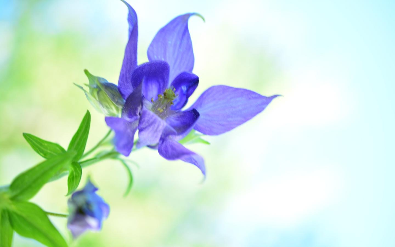 Bella flor azul - 1440x900