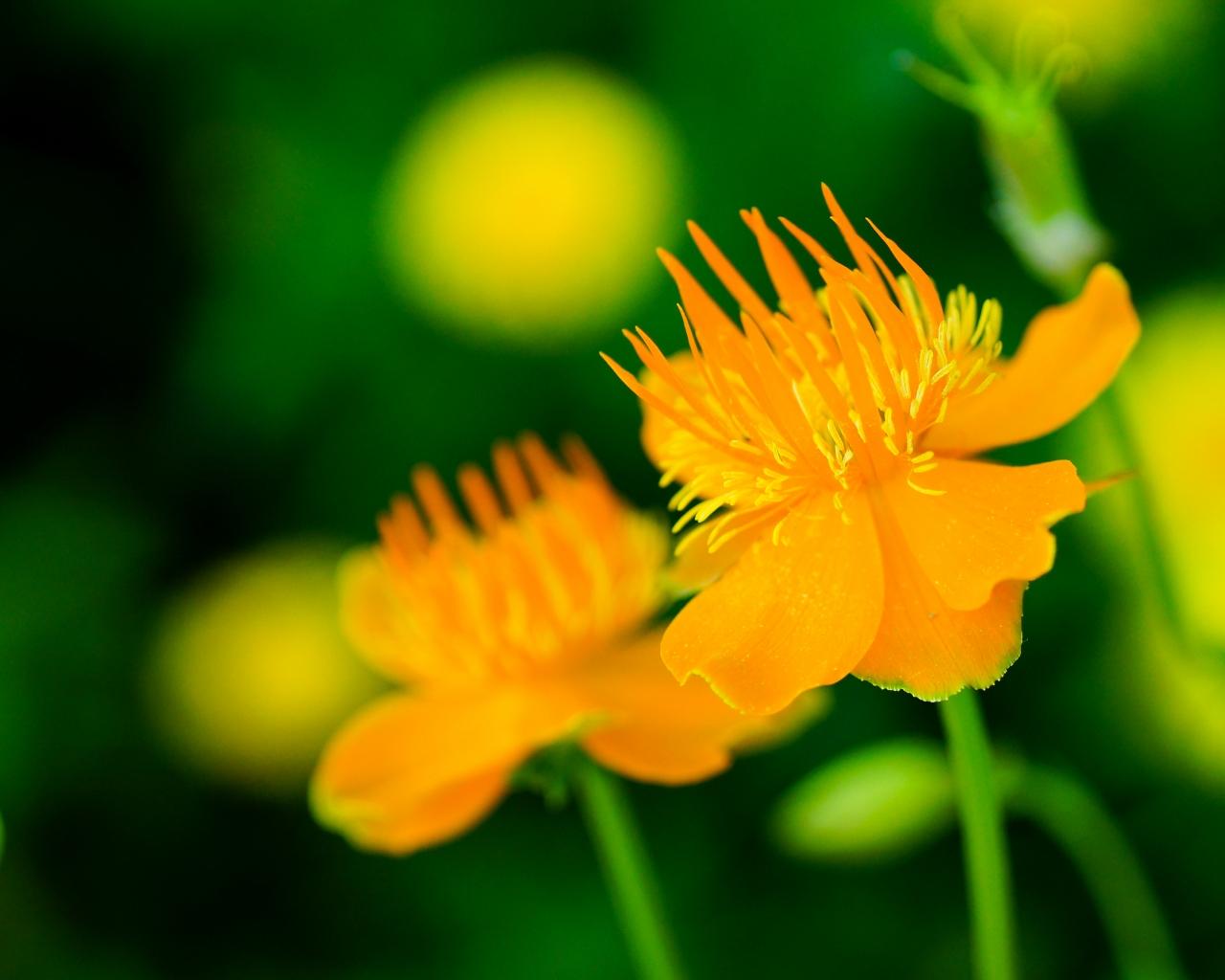 Flores naranjas - 1280x1024