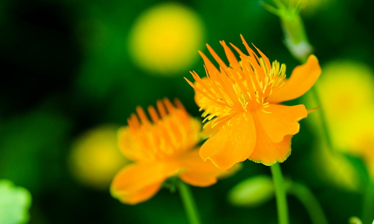 Flores naranjas - 1280x768