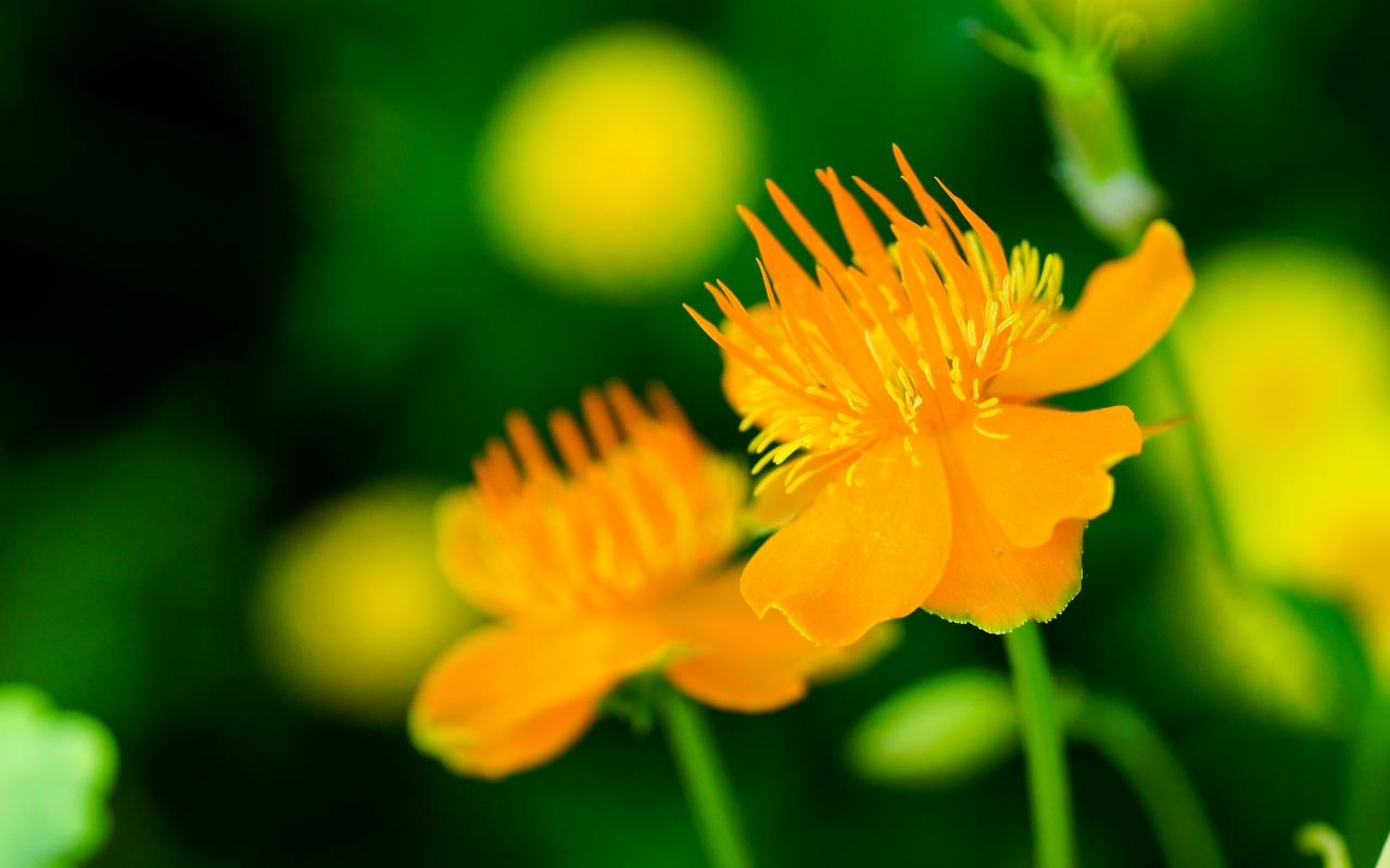 Flores naranjas - 1280x800