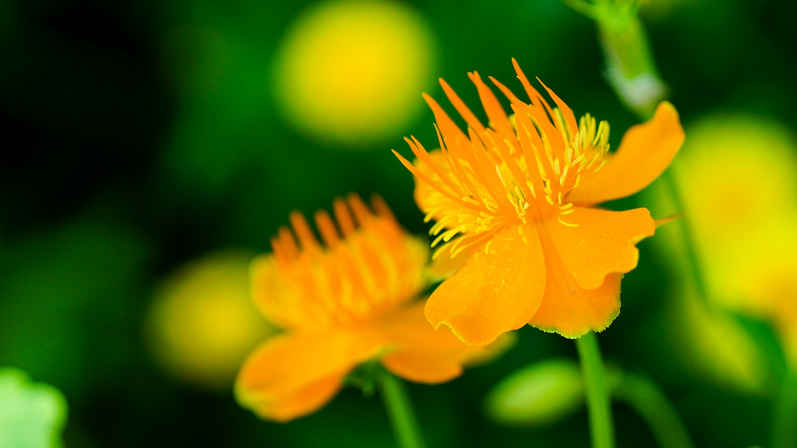 Flores naranjas - 1600x900