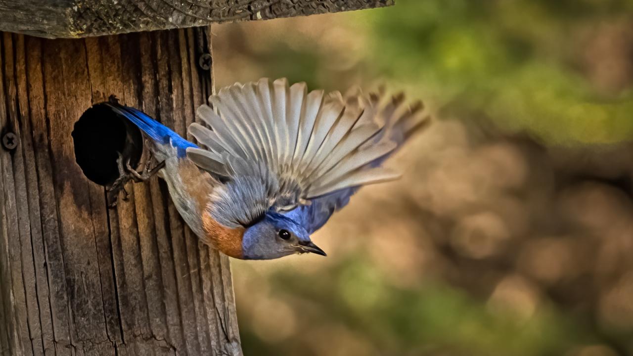 Pajaro saliendo de su nido - 1280x720