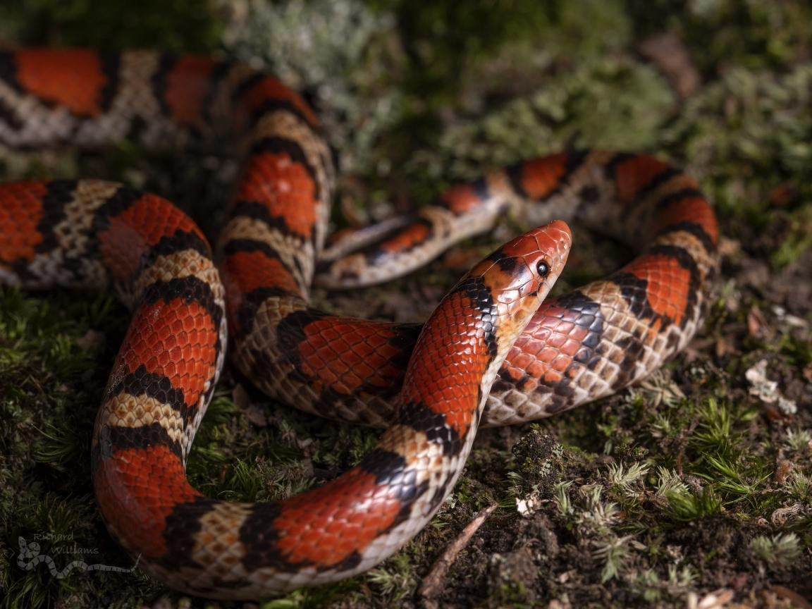 Serpiente de Coral - 1152x864