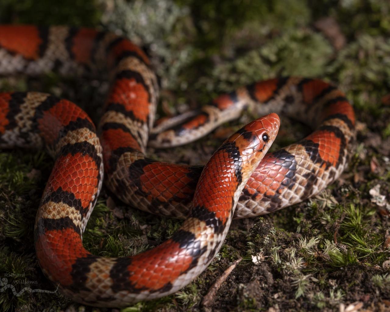 Serpiente de Coral - 1280x1024