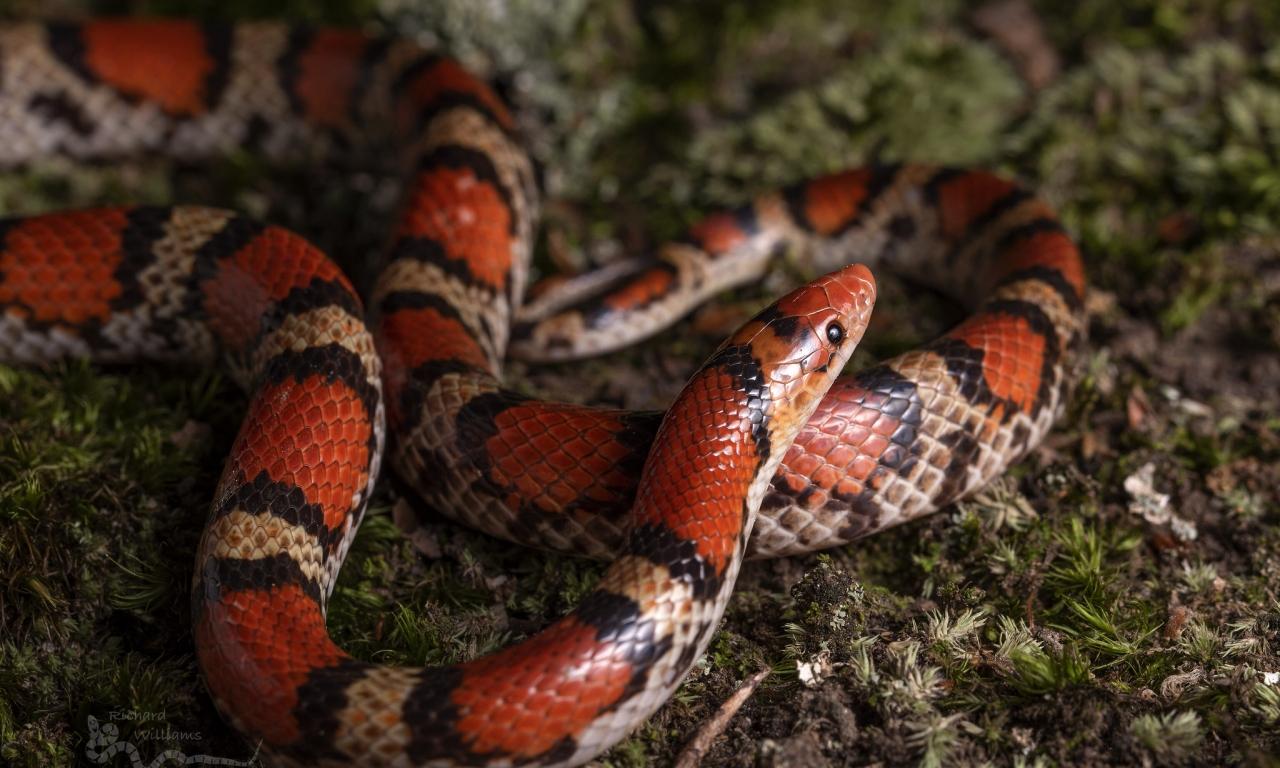 Serpiente de Coral - 1280x768